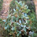 Kaktus-Pflanze im Alcazaba