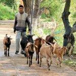 Ziegenhirte in Shaxi