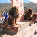 Tibetische Hunde