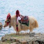 Yaks posieren für potentielle Touristen