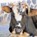 Kuh am Straßenrand