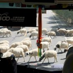 Schafe kreuzen den Weg