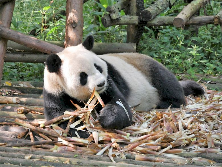 Bei den Pandas in Chengdu