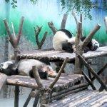 Kleine Pandas