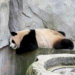Müder Panda
