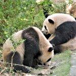 Spielende Pandas