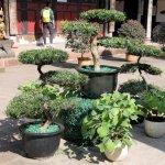 Bonsai-Bäumchen im Tempel