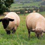 Schafe am Beltany Steinkreis