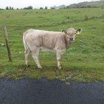 Kuh vor dem Zaun