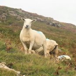 Schafe am Berg