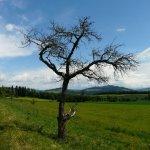 Baum bei Gerzensee, Schweiz 2011